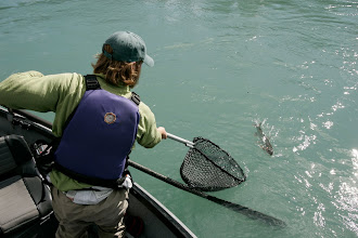 Photo: Bringing a middle Kenai rainbow trout to the rubber catch and release net.