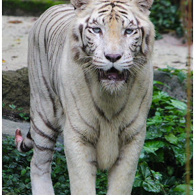White Tiger by Arunkumar Boyidapu - Animals Lions, Tigers & Big Cats ( tiger, zoo, majestic, white, singapore,  )