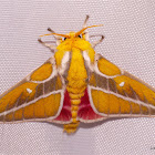 Royal Sphinx Moth