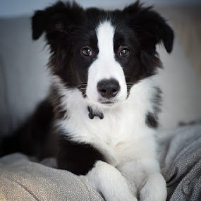 Shepherd Cottage Yomo - Ozzy by Enrico Mosca - Animals - Dogs Puppies ( puppy, portrait, dog, border collie,  )