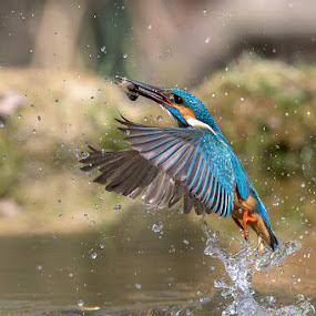 The capture by Roberto Melotti - Animals Birds ( river kingfisher, water, roberto melotti, capturing, fish, catch, dive, prey, eurasian kingfisher, nikon d810, common kingfisher, flight, flying, capture, kingfisher, fishing, catching, diving, italy )