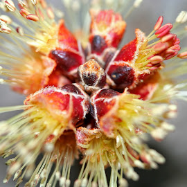 Maple Leaf Bud by Bill Diller - Nature Up Close Trees & Bushes ( spring, springtime, michigan, nature, tree, tree bud, maple leaf bud, maple leaf )