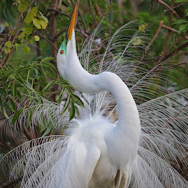 Just Stretching! by Anthony Goldman - Animals Birds ( bird, wild, great, breeding, nature, colors, tampa, mating display, wildlife, dance, egret, rookery,  )