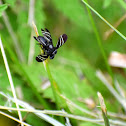 Black Onion Fly (mating pair)