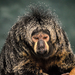 White faced saki by Benny Lopez - Animals Other Mammals ( pithecia pithecia., south america, white faced saki.,  )