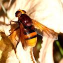 Hoverfly; Mosca cernidora