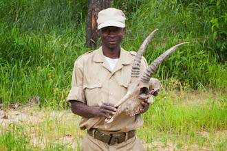 Photo: The skull of a yearling roan shot by poachers O crânio de um jovem macho de PV morto a tiro por furtivos