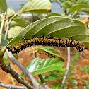 Euscirrhopterus valkeri