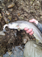 Photo: Average sized brown trout on the Mad puking up a chub about 1/3 his body size- our fish are CARNIVORES!