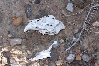 Photo: Fauna: Crani conill (O. cuniculus)
