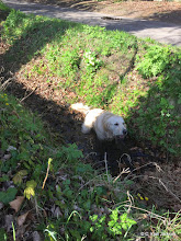 Photo: Barnaby Golden barking at us that he found a lovely mud puddle! 'wont you come in and join me?' I think he was saying... and there mum Louise was worried he would run into the road... she knows him better than that! ;-P