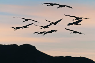 Photo: A squadron of sandhill cranes; Bosque del Apache