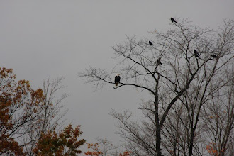 Photo: First eagle pic - 10/27/08