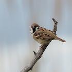 Gorrión molinero (Eurasian tree sparrow)