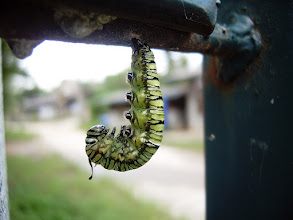 Photo: Verge of Transition #MacroMonday Curated by +Kerry Murphy , +Jennifer Eden & +Kelli Seeger Kim :- I spotted this caterpillar getting ready to cocoon itself hanging from the gate post of our house high up in the mountains of Omkoi, Thailand. Love the markings and colors of it and also like the blurred dirt track / road of our village in the background.  Photography by Justin Hill ©