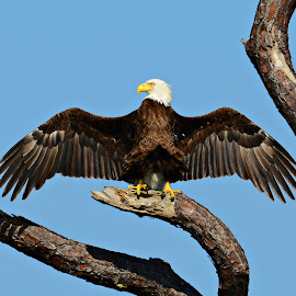The mighty Eagle by Ruth Overmyer - Animals Birds (  )