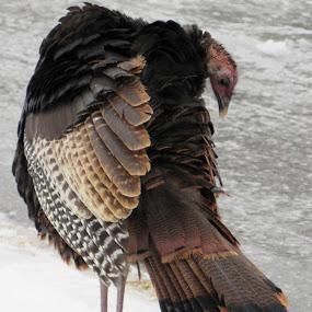Wild Turkey by Lynne Miller - Animals Birds ( lynne miller, alfred maine, maine, alfred, ice, snow, wildlife, wild turkey, animal )