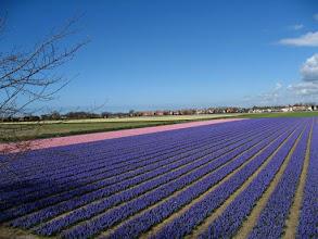 Photo: Champs de jacinthes dans les environs de Lisse en Hollande