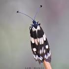 Chalcosiine (Day-flying Moth)