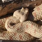 Field's horned viper