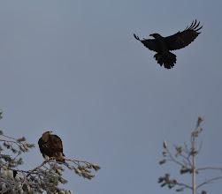 Photo: Korppi lentää aurinkoon...