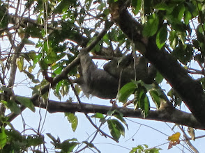 Photo: Sloth in a tree
