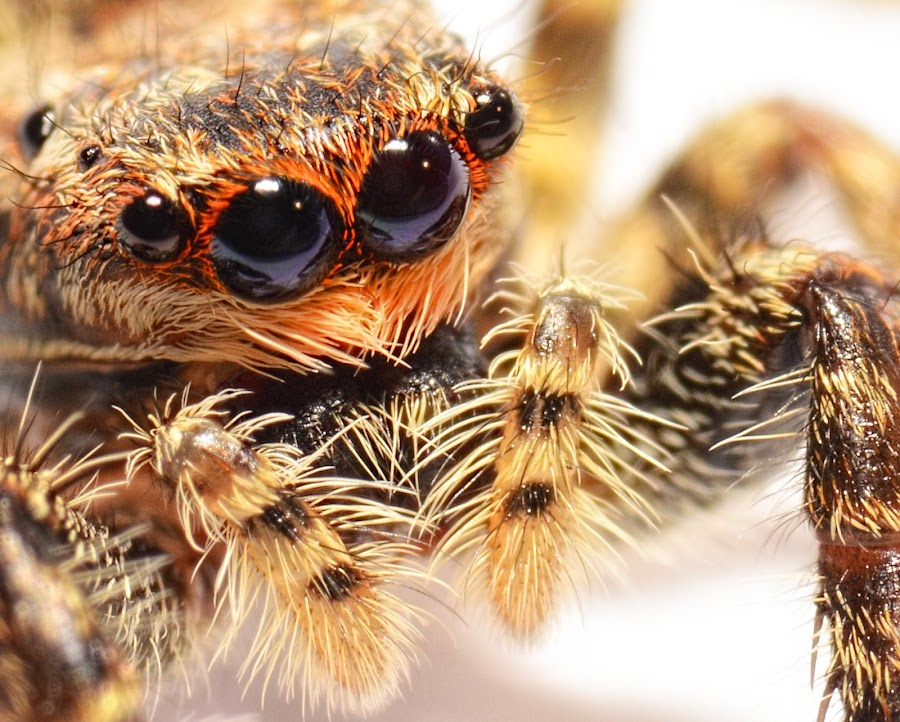 jumping spider by Xxx Xxx - Animals Insects & Spiders ( macro, jumpingspider, amsterdam, spider, nikon )