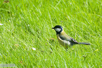 Photo: For #birdsinfocusfriday : +Birds in Focus curated by +Risto Talman a Great Tit (Parus major).