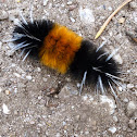 Yellow Spotted Tiger moth