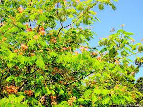 Photo: #015-Albizia julibrissin (arbre à soie) au Club Med de Bodrum
