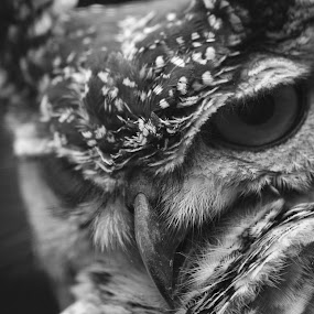 Up close by Donna Lane - Animals Birds ( bird, birds of prey, nature, black and white, beak, owl, wildlife, owls,  )