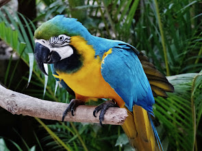 Photo: Gelbbrusta​ra (Ara ararauna, Blue and Gold Macaw) Aufgenomme​n im Freigehege des Macaw Mountain Bird Park in Copán.