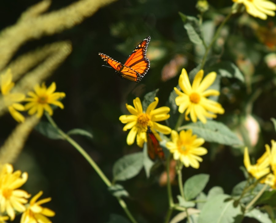 Butterfly Flight by Lorna Littrell - Animals Insects & Spiders ( migration, butterfly, nature, monarch, summer,  )