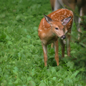 by BethSheba Ashe - Animals Other Mammals ( deer, bambi, fawn, day, little )