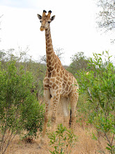Photo: Mkhaya GR - giraffe