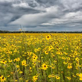 Wild coreopsis by Joe Saladino - Flowers Flowers in the Wild ( flowers, open field, open prairie, wild flowers, clouds,  )