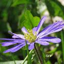 Balkan Anemone