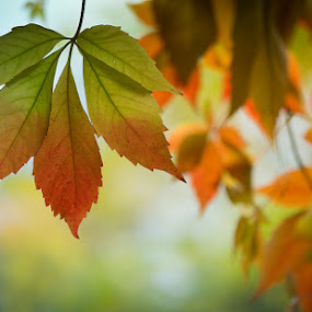 Five-leaved ivy by Per-Ola Kämpe - Nature Up Close Leaves & Grasses ( nature, autumn, colors, fall, five-leaved_ivy, leaf, leaves, color, colorful,  )