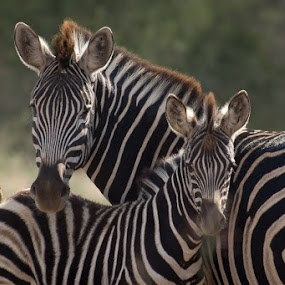 Zebra by David Botha - Animals Other (  )