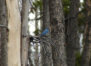 Photo: Mountain Bluebird
