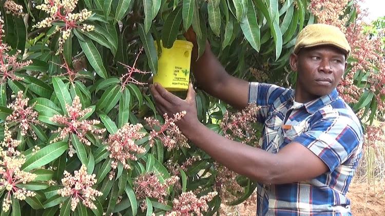 Kitui turns to value addition to improve mango farming