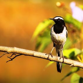 Wagtail by Udhay Krishnamurthy - Animals Birds
