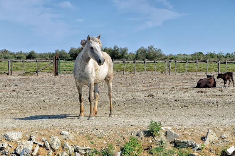 Big horse and small bulls di GVatterioni