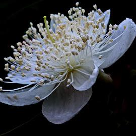 Guava tree flower by Prema Pangi - Flowers Tree Blossoms