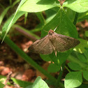 Tropical sod webworm moth