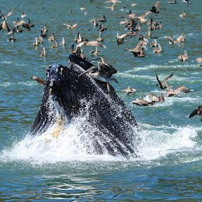 Whale & pelicans feeding frenzy! by Christine Lester-Deats - Animals Sea Creatures ( avila beach, fish, feeding, ocean, brown pelicans, port san luis, whale )