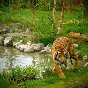 Siberian Tiger - Dublin Zoo by Oona Tully - Animals Other Mammals