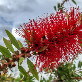 Bottlebrush Flower by Iqbal Ahmed - Instagram & Mobile iPhone ( bottlebrush, tree, iphone, garden, ahmed, iqbal, flower )