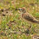 Lark  -  Red-capped Lark