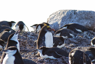 Photo: Macaroni Penguin in Chinstrap Colony